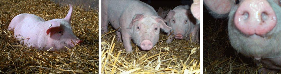Lichts Schweine